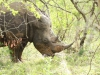 Umfolosi - White Rhino (20)