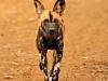 Umfolosi - Wild Dog near Mpafa