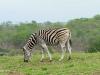 Umfolosi - Zebra (1)