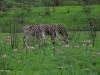 Umfolosi - Zebras in Snake Lillies