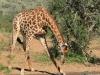 Umfolosi - giraffe drinking (1)