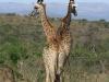 Umfolosi - giraffe drinking (2)