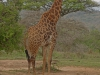 Umfolosi - giraffe