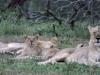 Umfolosi - lions - sontuli loop (3)