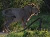Umfolosi - lions - zebra kill (1)