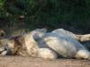 Umfolosi - lions - zebra kill (4)