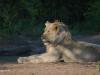 Umfolosi - lions - zebra kill (5)