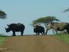 Umfolosi - white rhino and baby (1)