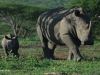 Umfolosi - white rhino and baby (2)