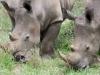 Umfolosi - white rhino - grazing (1)
