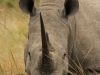Umfolosi - white rhino - grazing (2)