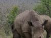 Umfolosi - white rhino - grazing (3)