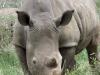 Umfolosi - white rhino - grazing (4)