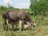 umhlabathini-prize-bull-1