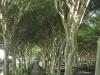 Umhlanga Ridge - Umhlanga Rocks Drive Fever trees (1)