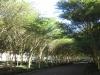 Umhlanga Ridge - Umhlanga Rocks Drive Fever trees (2)