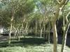Umhlanga Ridge - Umhlanga Rocks Drive Fever trees (3)