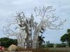 Izinga Ridge entrance Baobab (3)