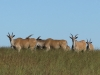 vryheid-hill-nature-reserve-eland-s-27-45-14-e-30-47-36