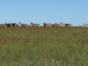 vryheid-hill-nature-reserve-eland-s-27-45-14-e-30-47-38