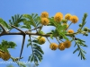 Weenen Nature Reserve Acacia Karoo flowers (1)