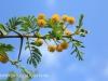 Weenen Nature Reserve Acacia Karoo flowers (3)