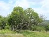 Weenen Nature Reserve No 7 Ficus Ingens  28.52.32 S 30.1.16 E .J (2)