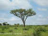 Weenen Nature Reserve acacias (1)
