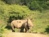 Weenen Nature Reserve de horned white rhino (2)
