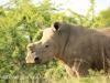 Weenen Nature Reserve de horned white rhino (4)