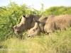 Weenen Nature Reserve de horned white rhino (6)
