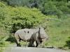 Weenen Nature Reserve de horned white rhino (7)