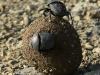 Weenen Nature Reserve  dung beetle (3)
