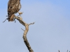 Weenen Nature Reserve eagle (1)