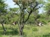 Weenen Nature Reserve ostrich (2)