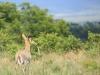 Weenen Nature Reserve reedbuck (1)