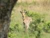 Weenen Nature Reserve reedbuck (2)