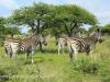 Weenen Nature Reserve zebra (1)