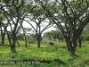 Weenen nature Reserve acacia sieberiana grove (1)