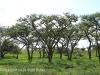 Weenen nature Reserve acacia sieberiana grove (2)