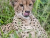 Zimanga Cheetah (4)