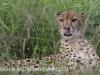 Zimanga Cheetah (6)