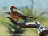 Zimanga Hornbill (4)
