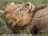 Zimanga Lions - Warthog Kill (2).psda