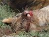 Zimanga Lions - Warthog Kill (25)