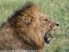 Zimanga Lions - Warthog Kill (4).psda