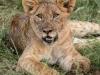 Zimanga Lions - Warthog Kill (5).psda