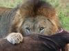 Zimanga Lions - Warthog killl (2)