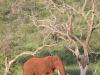 Zimanga Overnight hide -Elephant tusker