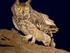 Zimanga Owls (9)